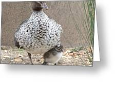 Baby Australian Wood Duck With Protective Mother Greeting Card by Margaret Saheed