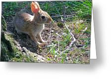 Baby Bunny Greeting Card by Brian Wallace