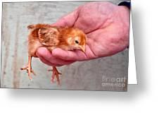 Baby Chick Being Held In Hand Greeting Card by Valerie Garner