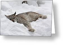 Baby Lynx Watching You Greeting Card by Inspired Nature Photography By Shelley Myke