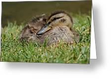 Baby Mallard Greeting Card by Todd Hostetter