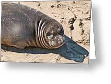 Baby Northern Elephant Seals Mirounga Angustirostris At The Piedras Blancas Beach Greeting Card by Jamie Pham