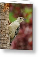 Baby Red Bellied Woodpecker Greeting Card by Lara Ellis