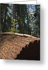 Baby Redwood Greeting Card by Joel Moranton