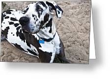 Bacchus The Great Dane Greeting Card by Sharon Cummings