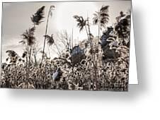 Backlit Winter Reeds Greeting Card by Elena Elisseeva