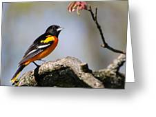 Baltimore Oriole Greeting Card by Christina Rollo