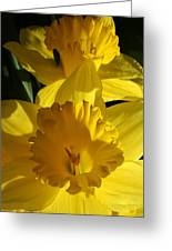 Beamming Daffodils Greeting Card by Bruce Bley