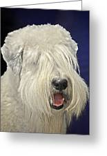 Bearded Collie - The 'bouncing Beardie' Greeting Card by Christine Till