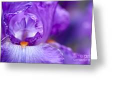 Bearded Iris Janine Louise Greeting Card by Tim Gainey