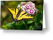 Beautiful Western Tiger Swallowtail Butterfly On Spring Flowers. Greeting Card by Jamie Pham