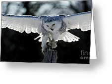 Beauty In Motion- Snowy Owl Landing Greeting Card by Inspired Nature Photography Fine Art Photography