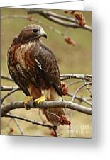 Beauty In Nature Red Tailed Hawk In The Spring Greeting Card by Inspired Nature Photography By Shelley Myke