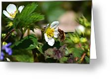 Bee Fly On White Flowers Greeting Card by Christina Rollo