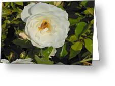 Bee in a White Rose Greeting Card by Kay Gilley