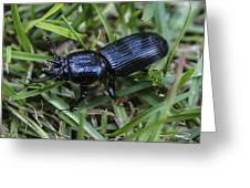 Beetle Greeting Card by Steven  Taylor