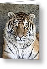 Bengal Tiger Vertical Portrait Greeting Card by Tom Mc Nemar