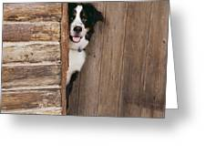 Bernese Mountain Dog At Log Cabin Door Greeting Card by John Daniels
