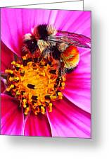 Big Bumble On Pink Greeting Card by Bill Caldwell -        ABeautifulSky Photography