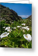 Big Sur Calla Lilies Greeting Card by About Light  Images