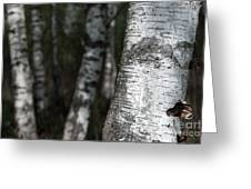 birches II Greeting Card by Hannes Cmarits