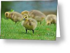 Bird - Baby Goose -leader Of The Pack Greeting Card by Paul Ward