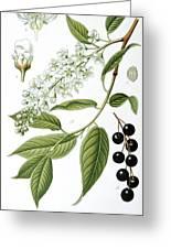Bird Cherry Cerasus Padus Or Prunus Padus Greeting Card by Anonymous