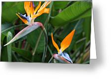 Bird Of Paradise Greeting Card by Carol Groenen