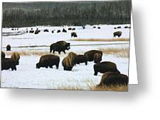 Bison Cows Browsing Greeting Card by Kae Cheatham