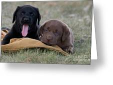 Black And Chocolate Labradors Greeting Card by Linda Freshwaters Arndt