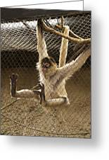 Black Handed Spider Monkey Just Sitting Around Greeting Card by Thomas Woolworth