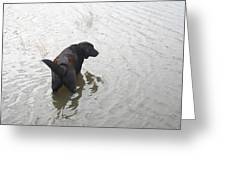 Black Lab In Silver Pond Greeting Card by Wide Awake Arts