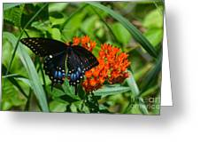 Black Swallow Tail On Beautiful Orange Wildlflower Greeting Card by Peggy  Franz