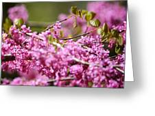 Blooming Redbud Tree Cercis Canadensis Greeting Card by Rebecca Sherman