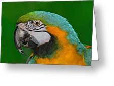 Blue And Gold Macaw Greeting Card by Tony Beck
