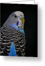 Blue Budgie Parakeet Greeting Card by Nathan Abbott
