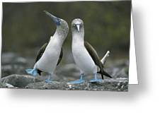 Blue Footed Booby Dancing Greeting Card by Tui De Roy