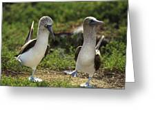 Blue-footed Booby Pair In Courtship Greeting Card by Tui De Roy