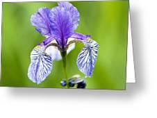 Blue Iris Greeting Card by Frank Tschakert