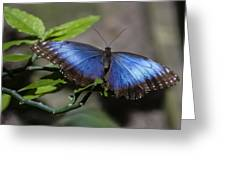 Blue Morph Butterfly Greeting Card by Sven Brogren