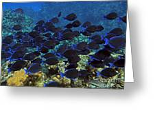 Blue Tangs Greeting Card by Jimmy Nelson