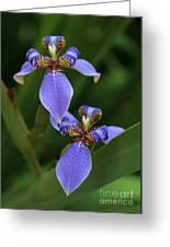 Blue Walking Iris Greeting Card by Carol Groenen