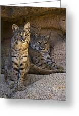 Bobcat 8 Greeting Card by Arterra Picture Library