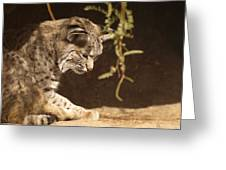Bobcat Greeting Card by James Peterson