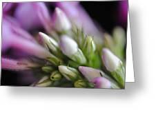 Budding Phlox Greeting Card by Mary A Mergener