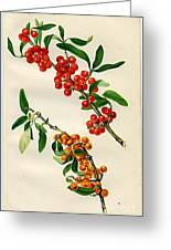 Buffalo Berry Greeting Card by  Department of Agriculture