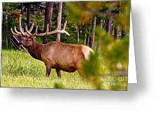 Bull Elk Greeting Card by Bill Gallagher
