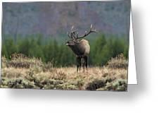 Bull Elk Calling Greeting Card by Daniel Behm
