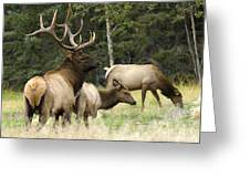 Bull Elk With His Harem Greeting Card by Bob Christopher