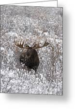 Bull Moose In Snow Greeting Card by Tim Grams